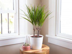 plante dragon