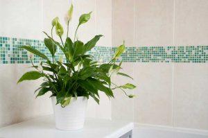 lily plante